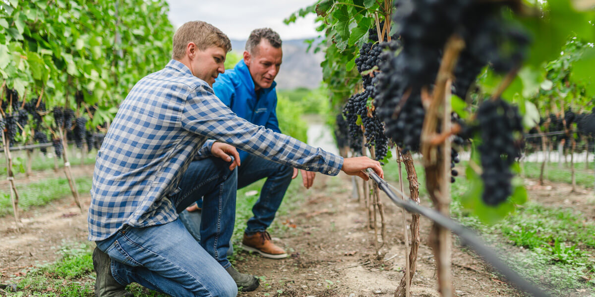 employee and customer looking at vineyard grapes and drip irrigation