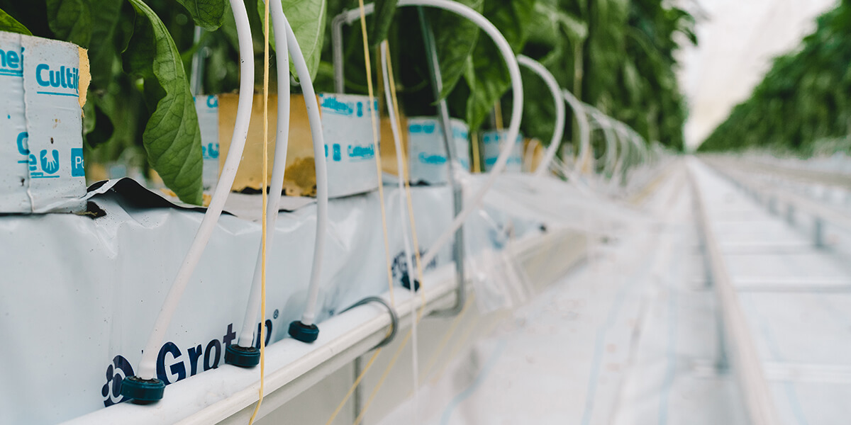 drip irrigation drippers on peppers in greenhouse