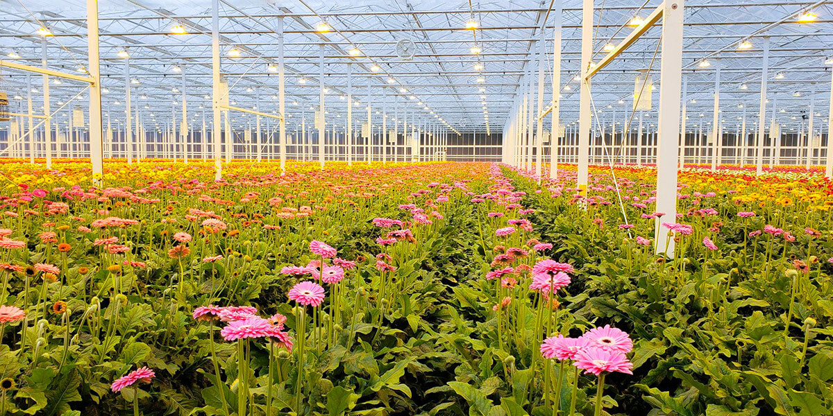 greenhouse gerberas
