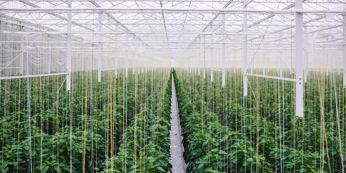 irrigated greenhouse of peppers