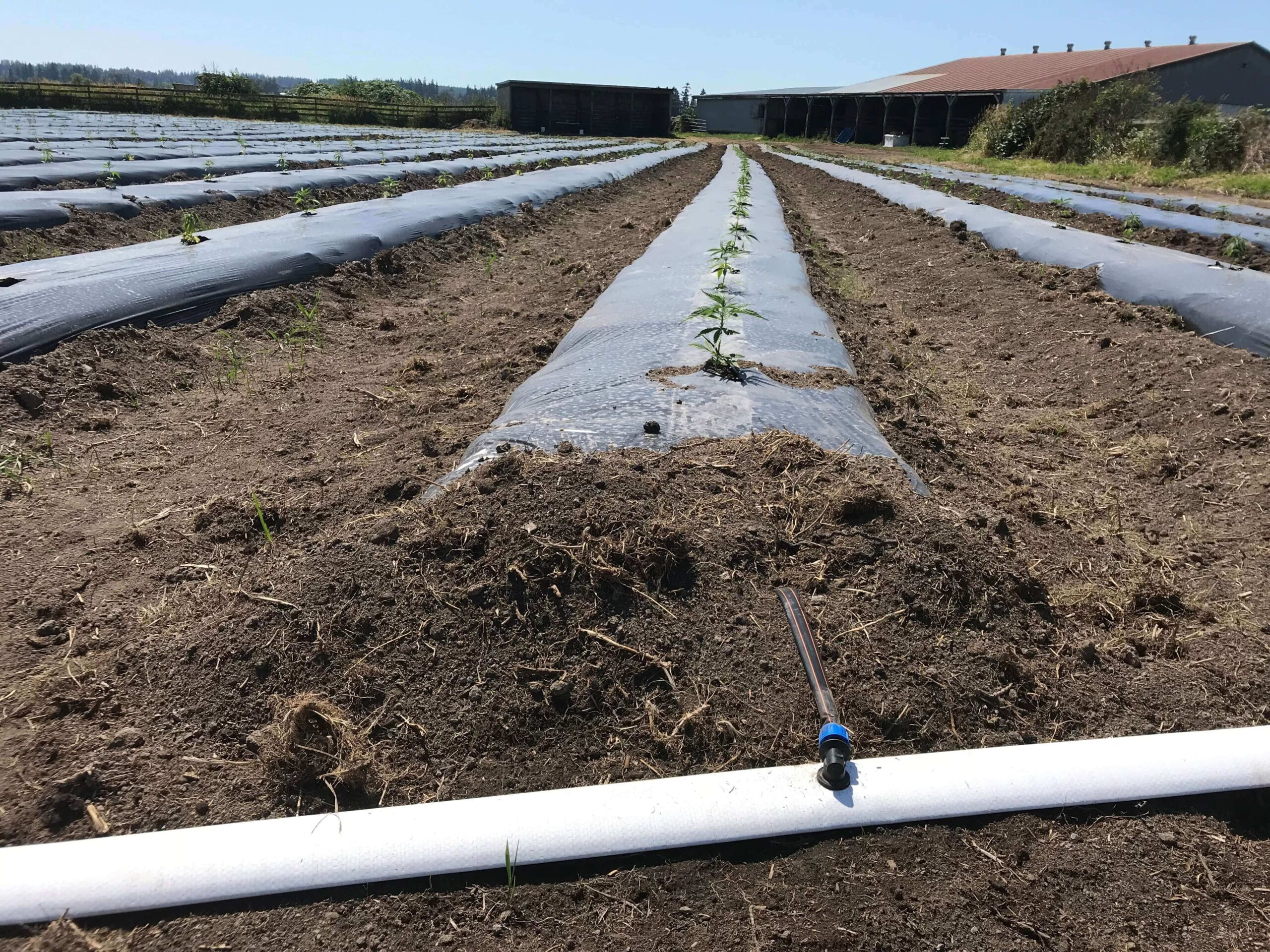 Hemp drip irrigation